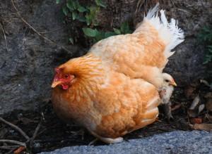 Chicken Virus Kills Prostate Cancer - Exposing The Truth