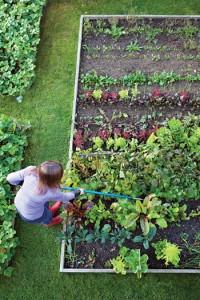 Overhead of Gardening Woman Weeding Vegetable Garden